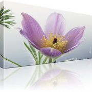 Finger Kuhschelle Blume Wandbild auf Leinwand
