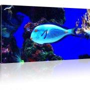 Blauer Korallenfisch als Kunstdruck