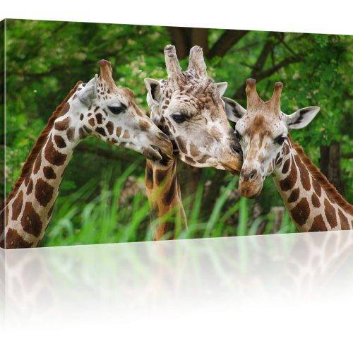 Drei Giraffen Kunstdruck